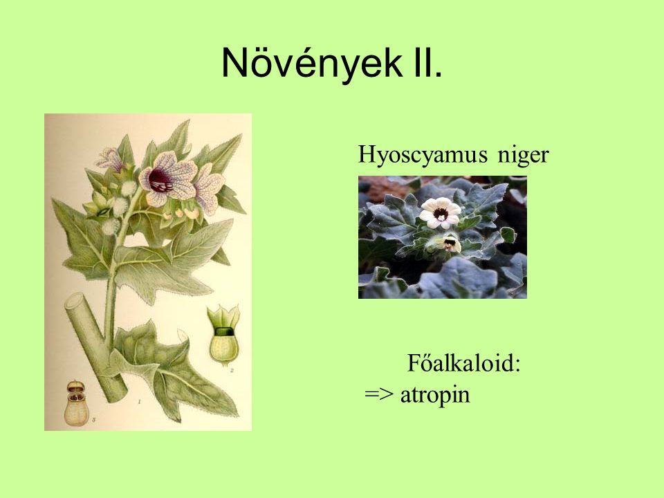 Növények II. Főalkaloid: => atropin Hyoscyamus niger