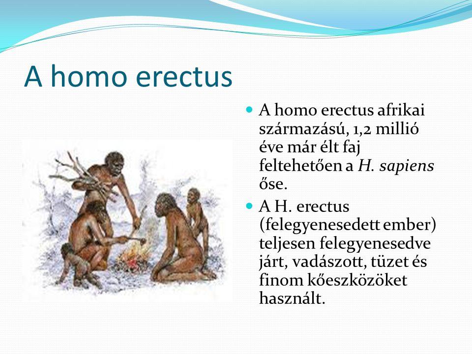 A homo erectus A homo erectus afrikai származású, 1,2 millió éve már élt faj feltehetően a H.