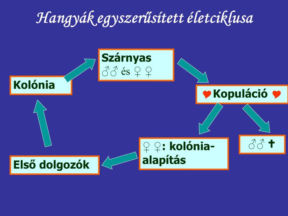 Hangyák egyszerűsített életciklusa Kolónia Szárnyas ♂♂ és ♀ ♀  Kopuláció  ♂♂  ♀ ♀ : kolónia- alapítás Első dolgozók