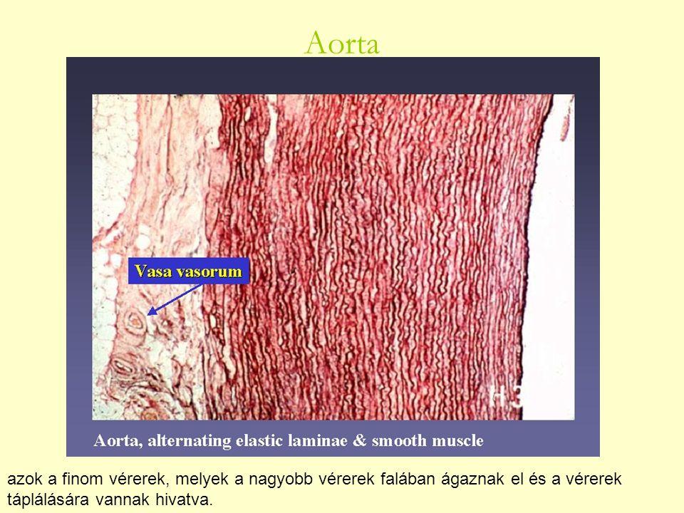 Aorta azok a finom vérerek, melyek a nagyobb vérerek falában ágaznak el és a vérerek táplálására vannak hivatva.