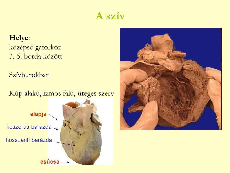 A szív Helye: középső gátorköz 3.-5. borda között Szívburokban Kúp alakú, izmos falú, üreges szerv alapja csúcsa koszorús barázda hosszanti barázda