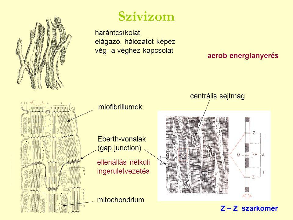 harántcsíkolat elágazó, hálózatot képez vég- a véghez kapcsolat Eberth-vonalak (gap junction) centrális sejtmag Z – Z szarkomer ellenállás nélküli ing