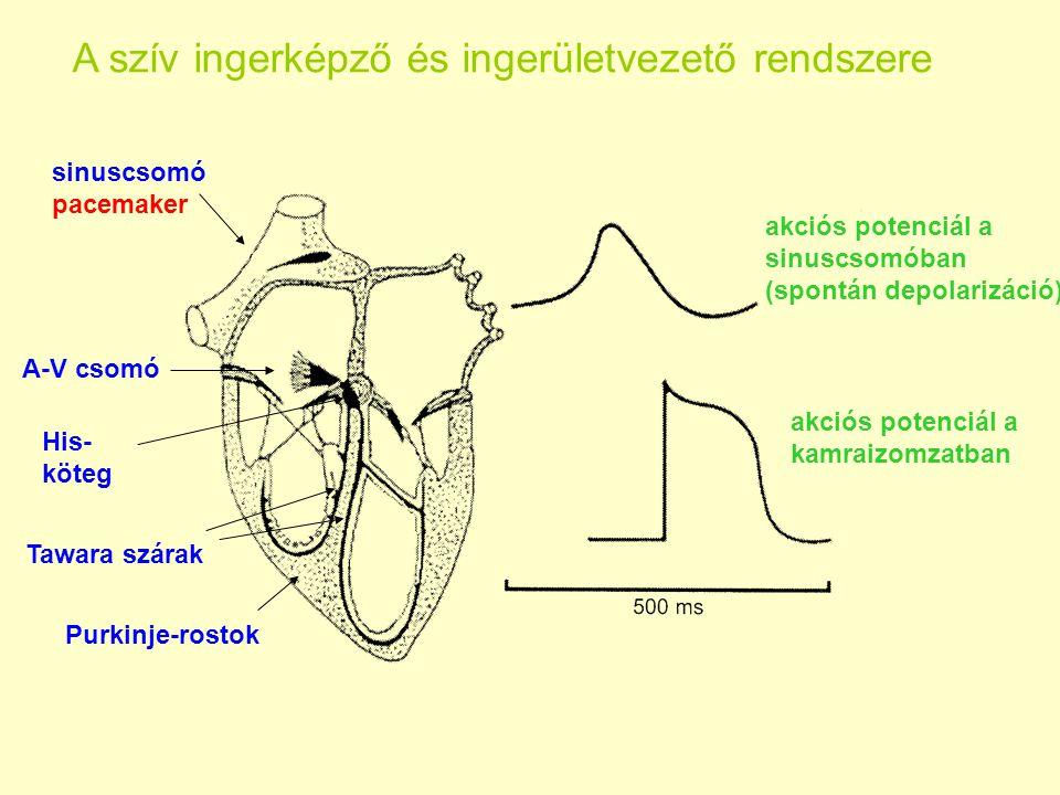 A szív ingerképző és ingerületvezető rendszere sinuscsomó pacemaker A-V csomó His- köteg Tawara szárak Purkinje-rostok akciós potenciál a sinuscsomóba