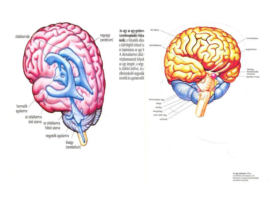 Az idegrendszer két fő részre tagolódik: I.Szomatikus, akaratunktól függő idegrendszer II.Vegetatív, akaratunktól független idegrendszer A szomatikus idegrendszer anatómiailag két részből áll:  Központi rész: agy és gerincvelő  Környéki rész: agy- és gerincvelői idegek Az agy- és gerincvelő a feltétlen és feltételes reflextevékenység, a magasabb idegtevékenység központja, a környéki rész motoros idegek útján ingerületeket küld a vázizmokhoz és érző idegek útján a periféria felől ingerületet szállít a központi idegszervekbe.