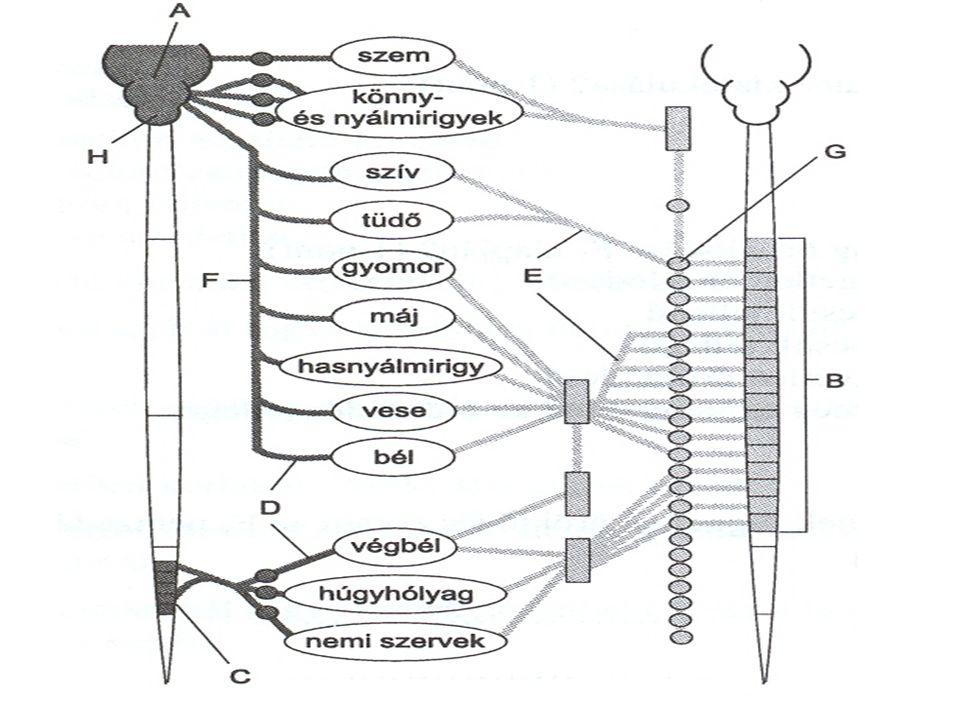 szervszimpatikus hatásparaszimpatikus hatás emésztőmirigyekérösszehúzódásszekréciófokozódás verejtékmirigyekszekrécióØ szívizomfokozott aktivitáscsökkent aktivitás bőrerekérszűkület, értágulatØ hasi erekérösszehúzódásØ izomerekértágulatØ pupillatágulszűkül bélizomzatcsökkent perisztaltika, fokozott szfinktertónus fokozott perisztaltika, csökkent szfinktertónus