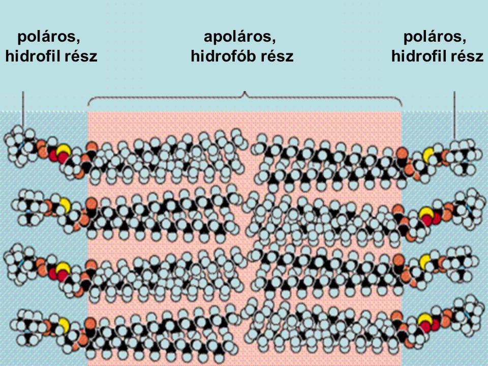 poláros, hidrofil rész poláros, hidrofil rész apoláros, hidrofób rész