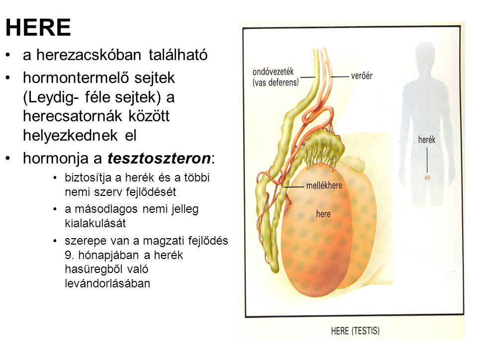 HERE a herezacskóban található hormontermelő sejtek (Leydig- féle sejtek) a herecsatornák között helyezkednek el hormonja a tesztoszteron: biztosítja