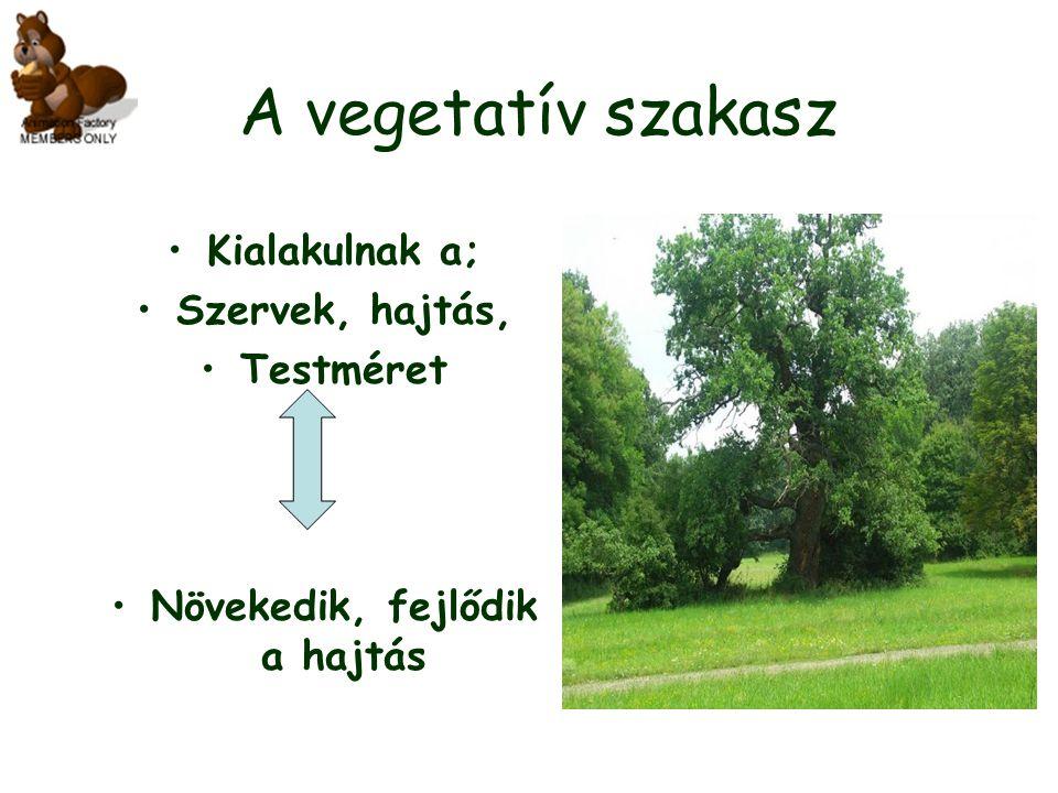 A vegetatív szakasz Kialakulnak a; Szervek, hajtás, Testméret Növekedik, fejlődik a hajtás