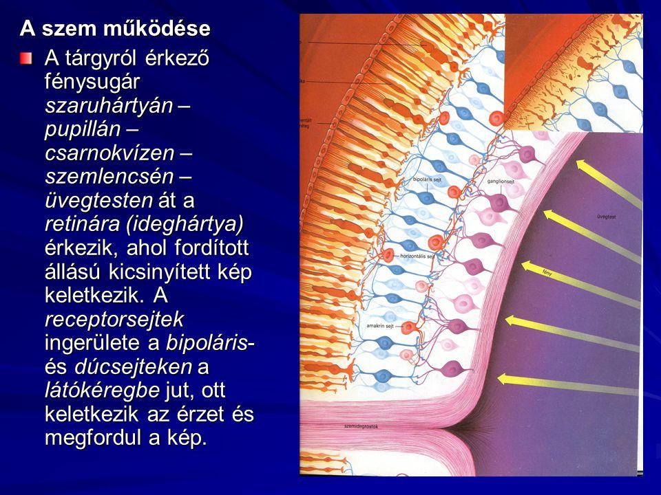 A szem működése A tárgyról érkező fénysugár szaruhártyán – pupillán – csarnokvízen – szemlencsén – üvegtesten át a retinára (ideghártya) érkezik, ahol