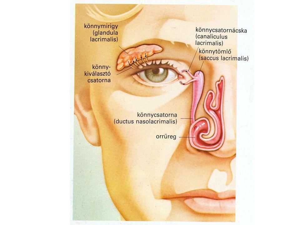 A szemgolyó rétegei: Ínhártya (sclera) - a szemgolyó külső hártyája, fehér rostos állományú, ereket, idegeket nem tartalmaz.