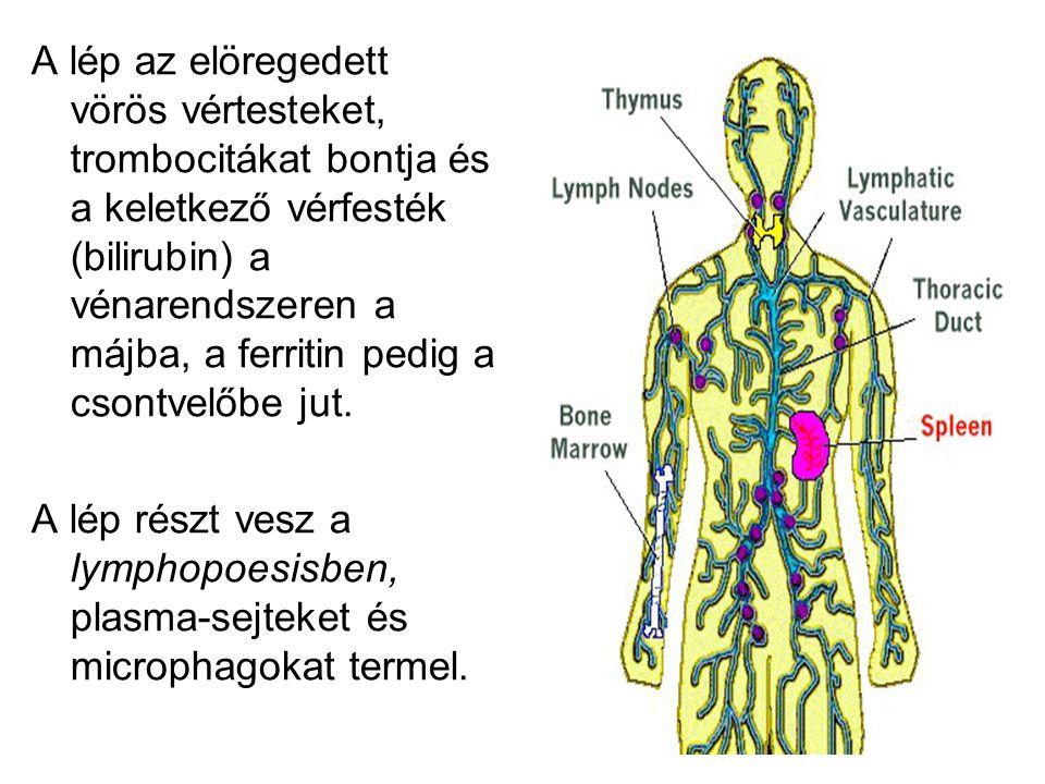 A lép az elöregedett vörös vértesteket, trombocitákat bontja és a keletkező vérfesték (bilirubin) a vénarendszeren a májba, a ferritin pedig a csontve