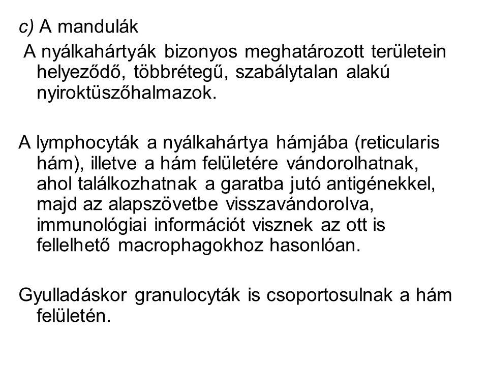 c) A mandulák A nyálkahártyák bizonyos meghatározott területein helyeződő, többrétegű, szabálytalan alakú nyiroktüszőhalmazok. A lymphocyták a nyálkah