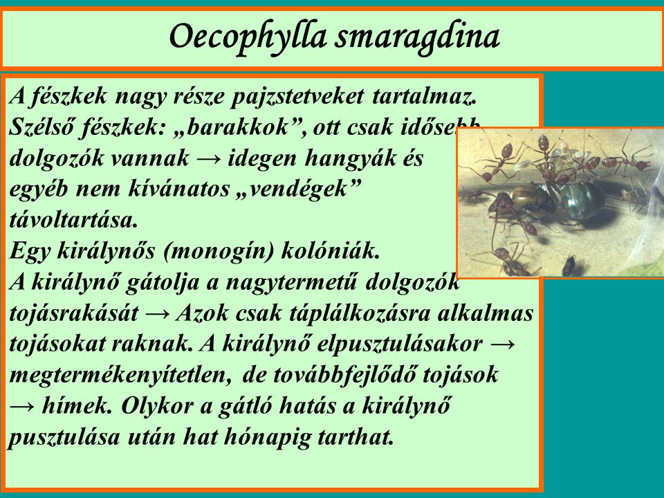 Oecophylla smaragdina A fészkek nagy része pajzstetveket tartalmaz.