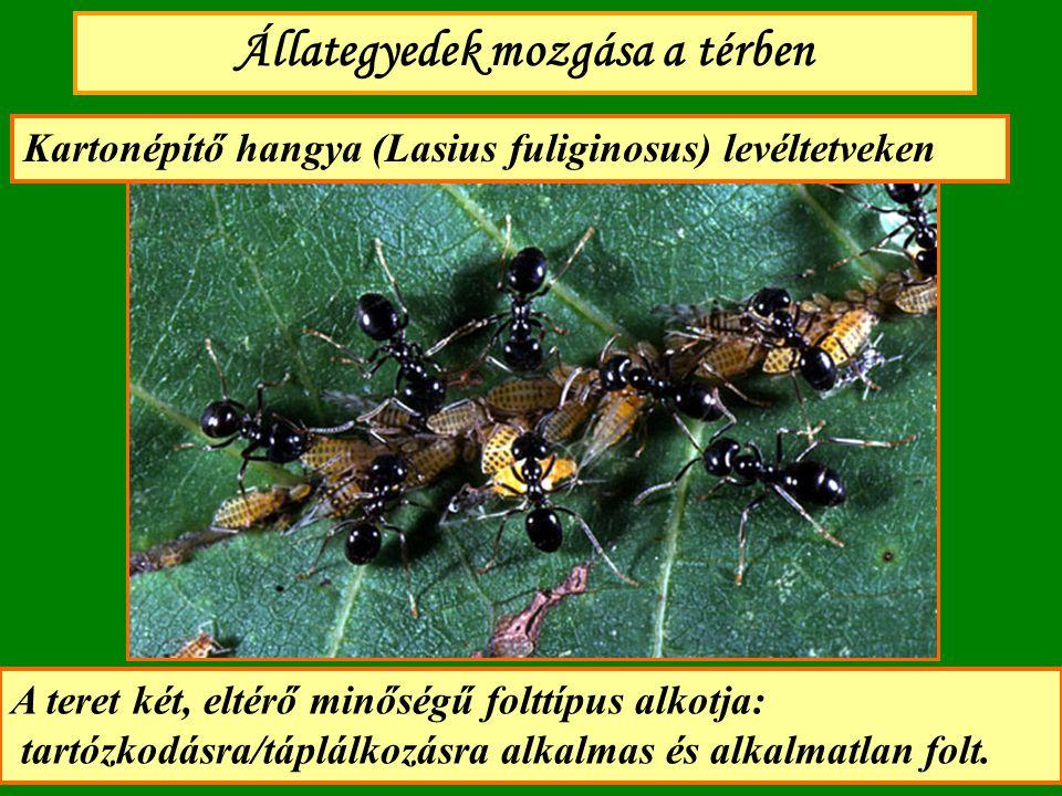 Állategyedek mozgása a térben Kartonépítő hangya (Lasius fuliginosus) levéltetveken A teret két, eltérő minőségű folttípus alkotja: tartózkodásra/tápl