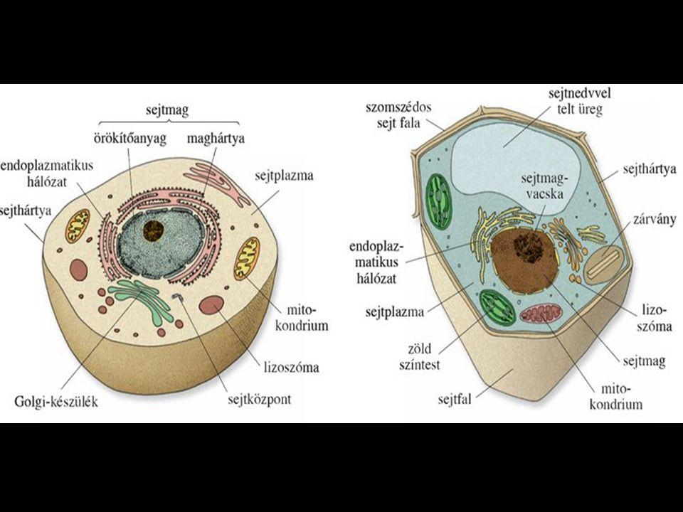 Testszerveződési szintek egysejtű sejttársulássejtfonal teleptest szövet