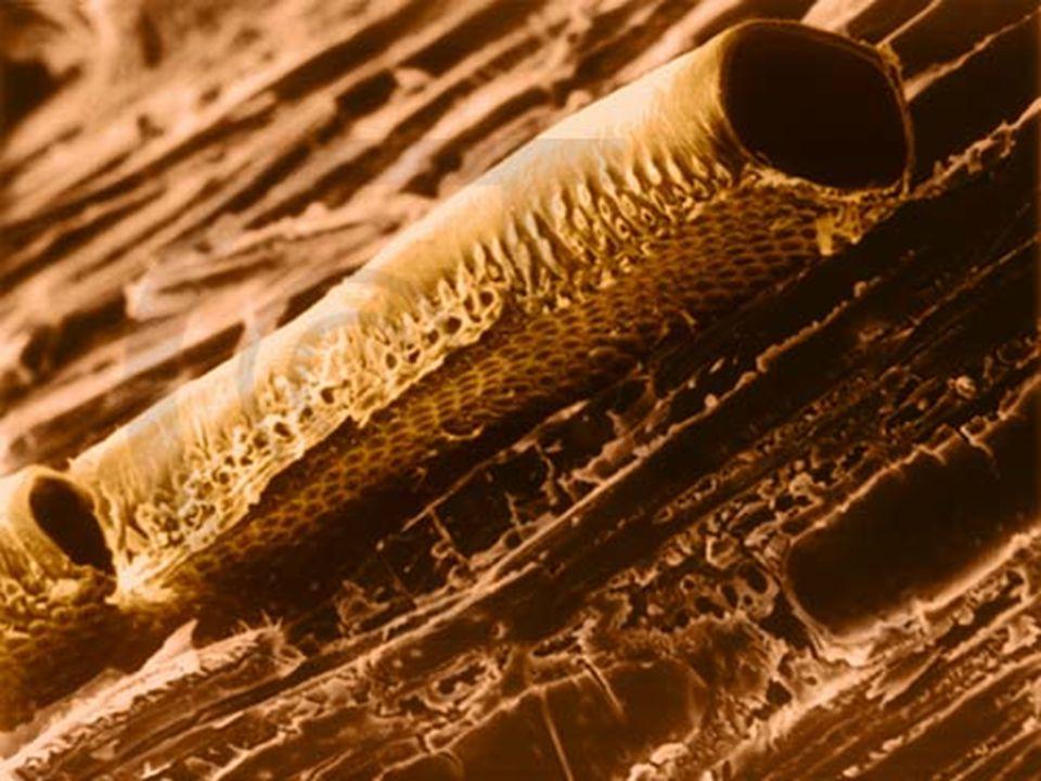 a háncsrész: –feladata: a szerves anyagok (cukoroldat) szállítása –felépítése: rostacsövek rostasejtek kísérősejtek