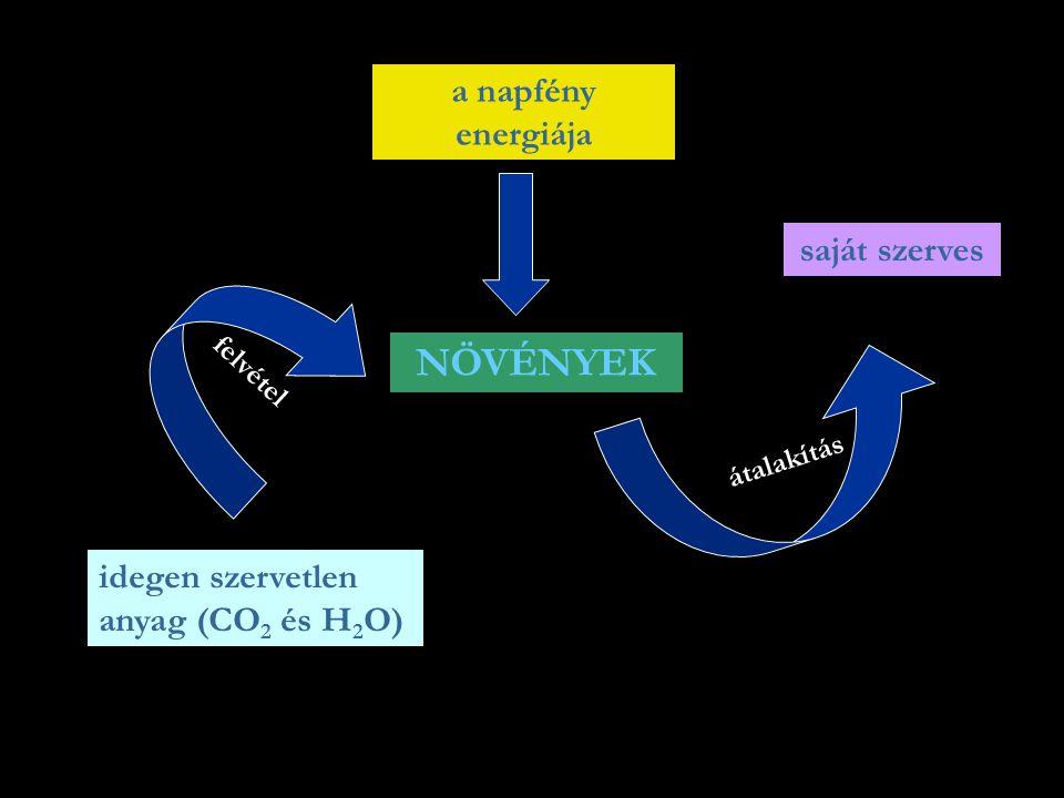 NÖVÉNYEK idegen szervetlen anyag (CO 2 és H 2 O) a napfény energiája saját szerves felvétel átalakítás