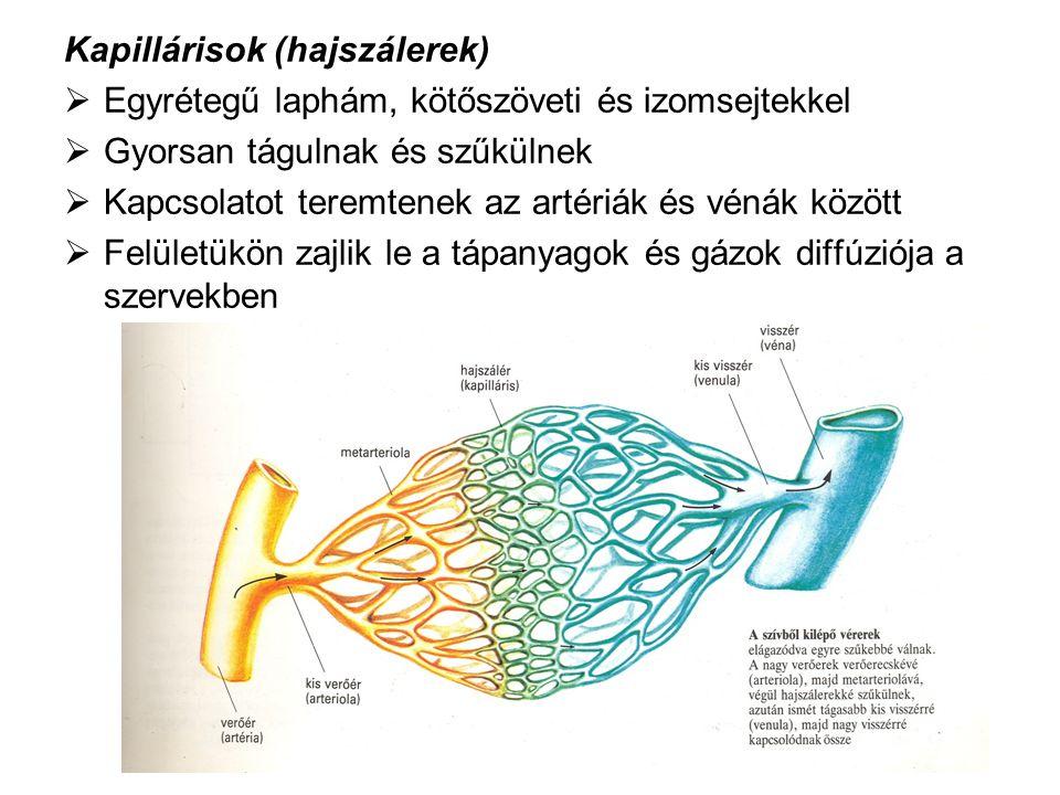 Kapillárisok (hajszálerek)  Egyrétegű laphám, kötőszöveti és izomsejtekkel  Gyorsan tágulnak és szűkülnek  Kapcsolatot teremtenek az artériák és vé