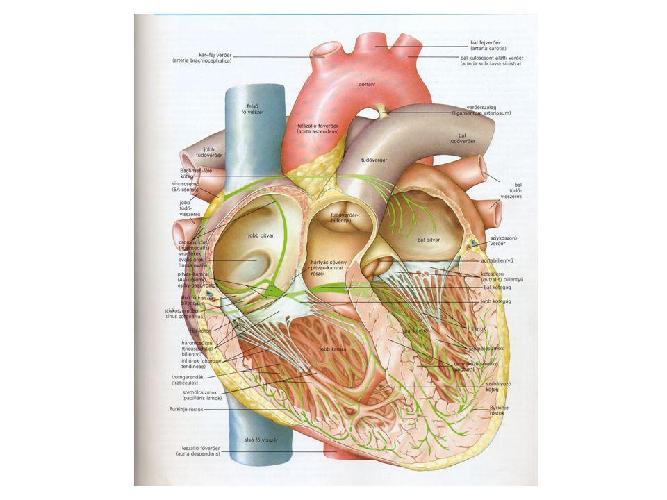 A szív összehúzódása (szisztolé) és az azt követő elernyedés (diasztolé) a szívütem vagy szívciklus.