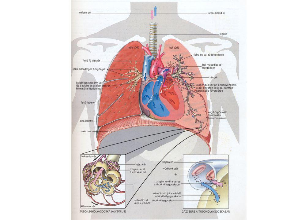 Érrendszer Artériák (osztóerek)  Vastag, rugalmas, köralakú, szűk belső keresztmetszetű,erőteljes összehúzódásra képes vérerek  A vért a szervekhez pumpálják.