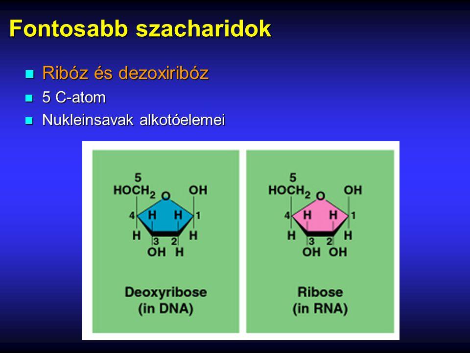 Fontosabb szacharidok n Ribóz és dezoxiribóz n 5 C-atom n Nukleinsavak alkotóelemei