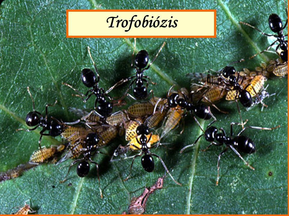 A levéltetvekkel alkotott trofobiózis lényege: a levéltetű édes, cukrokban gazdag ürülékét (a mézharma- tot) a hangyák elfogyasztják.