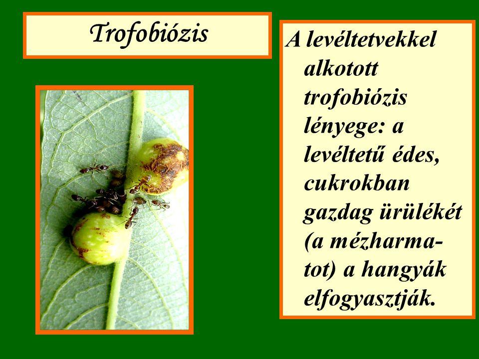 A levéltetvekkel alkotott trofobiózis lényege: a levéltetű édes, cukrokban gazdag ürülékét (a mézharma- tot) a hangyák elfogyasztják. Trofobiózis