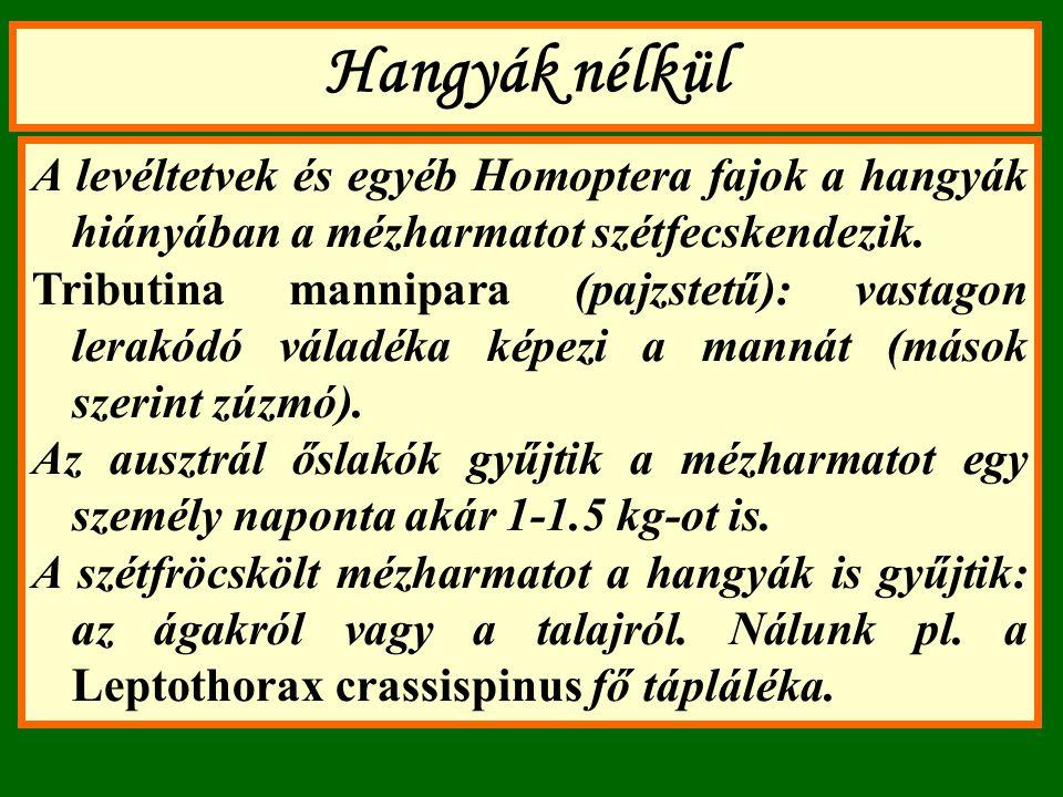 Hangyák nélkül A levéltetvek és egyéb Homoptera fajok a hangyák hiányában a mézharmatot szétfecskendezik. Tributina mannipara (pajzstetű): vastagon le