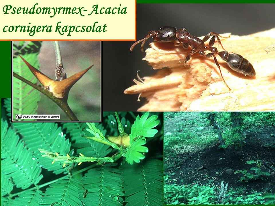 Hangya-Lycaenida kapcsolat