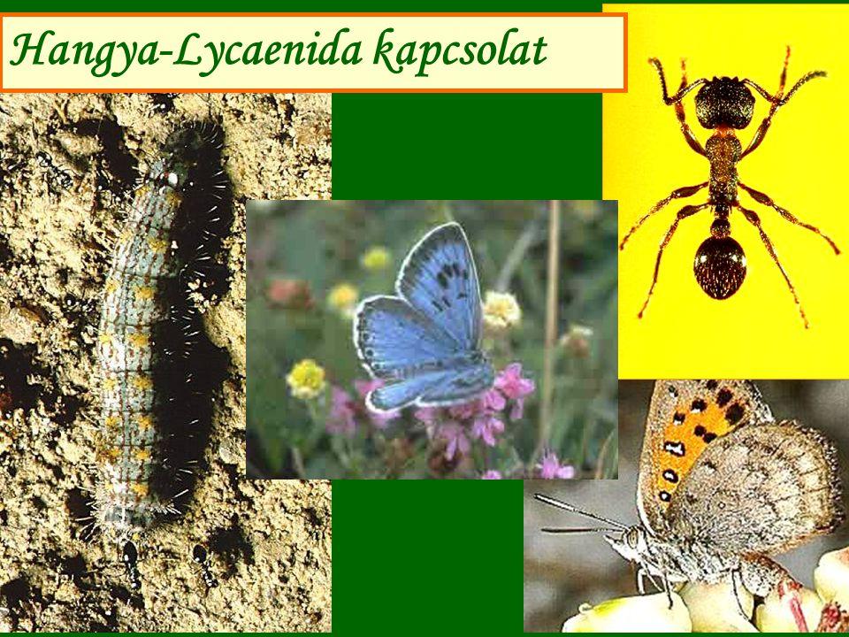 Hangya-Maculinea kapcsolat sajátosságai A boglárkák lárváit a hangyák (Myrmica spp.) a fészekbe cipelik, mert jó illatú és izű az exkrétumuk.