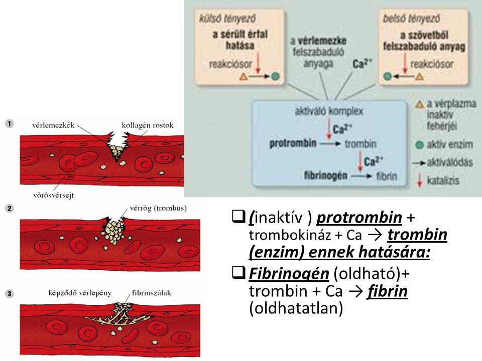  (inaktív ) protrombin + trombokináz + Ca → trombin (enzim) ennek hatására:  Fibrinogén (oldható)+ trombin + Ca → fibrin (oldhatatlan)