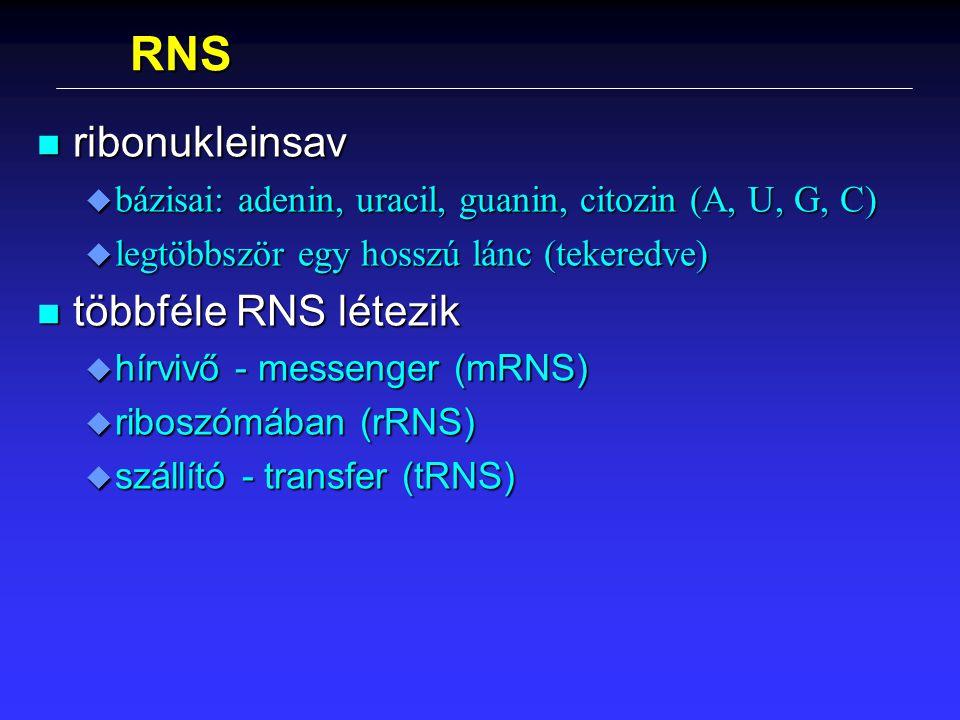RNS n ribonukleinsav u bázisai: adenin, uracil, guanin, citozin (A, U, G, C) u legtöbbször egy hosszú lánc (tekeredve) n többféle RNS létezik u hírviv