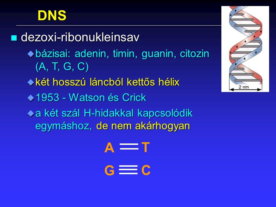 DNS n dezoxi-ribonukleinsav u bázisai: adenin, timin, guanin, citozin (A, T, G, C) u két hosszú láncból kettős hélix u 1953 - Watson és Crick u a két