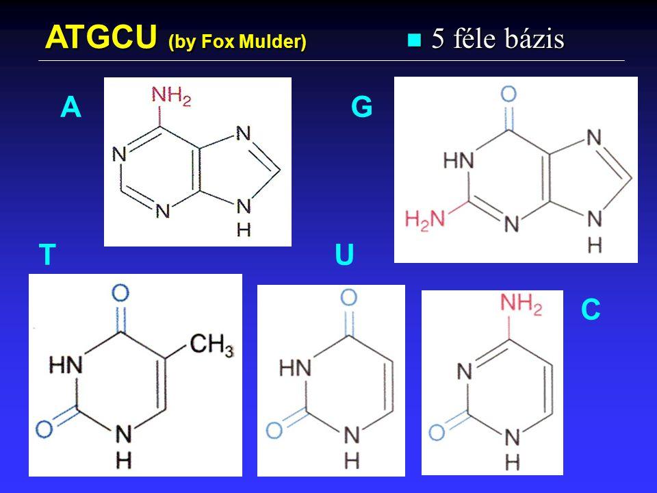 ATGCU (by Fox Mulder) n 5 féle bázis A G TU C