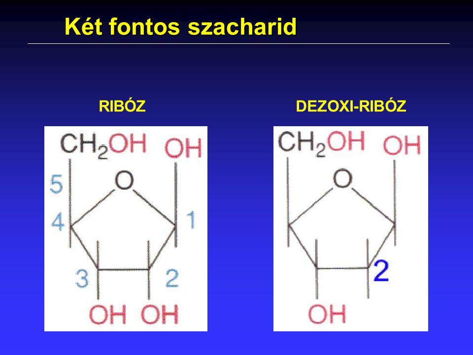 Két fontos szacharid RIBÓZDEZOXI-RIBÓZ