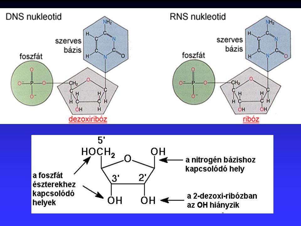 Polinukleotidok n a nukleotidok a foszfáton keresztül kapcsolódnak (hosszú lánc)
