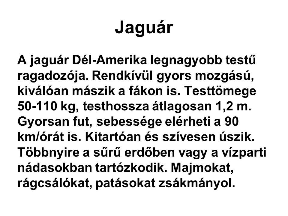 Jaguár A jaguár Dél-Amerika legnagyobb testű ragadozója. Rendkívül gyors mozgású, kiválóan mászik a fákon is. Testtömege 50-110 kg, testhossza átlagos