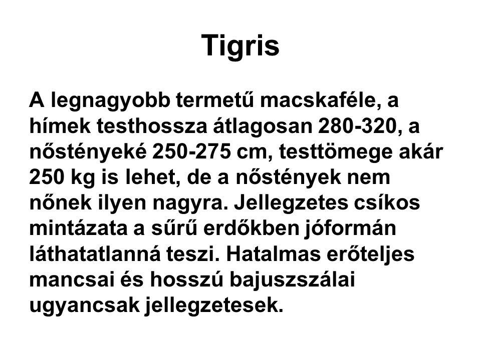 Tigris A legnagyobb termetű macskaféle, a hímek testhossza átlagosan 280-320, a nőstényeké 250-275 cm, testtömege akár 250 kg is lehet, de a nőstények