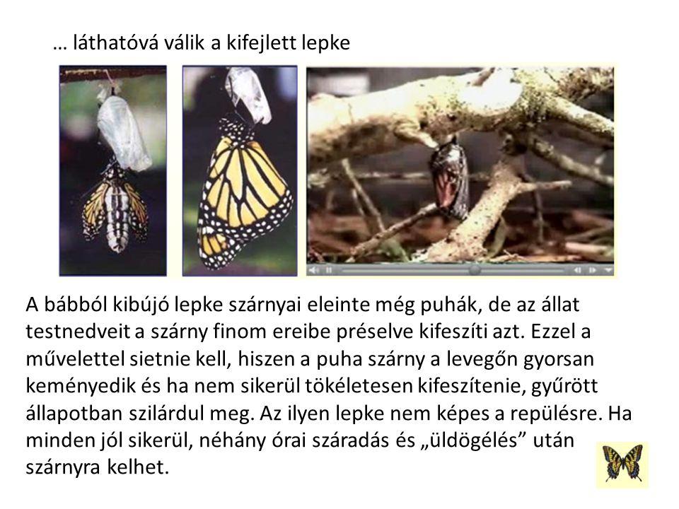 … láthatóvá válik a kifejlett lepke A bábból kibújó lepke szárnyai eleinte még puhák, de az állat testnedveit a szárny finom ereibe préselve kifeszíti azt.