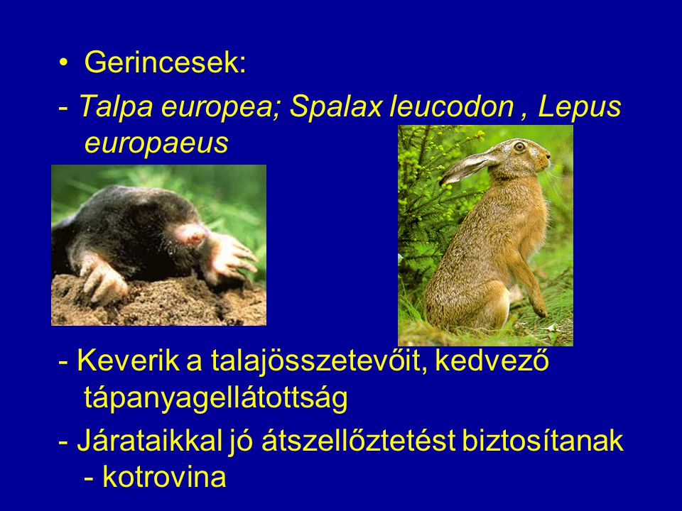 Gerincesek: - Talpa europea; Spalax leucodon, Lepus europaeus - Keverik a talajösszetevőit, kedvező tápanyagellátottság - Járataikkal jó átszellőzteté