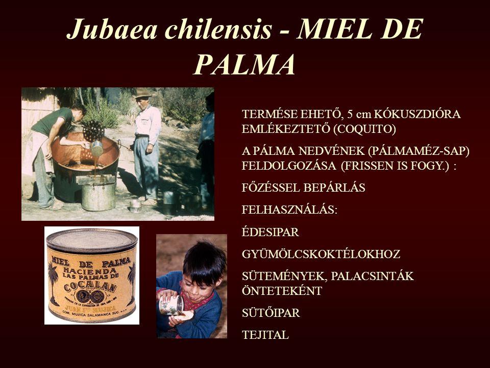 Jubaea chilensis - MIEL DE PALMA TERMÉSE EHETŐ, 5 cm KÓKUSZDIÓRA EMLÉKEZTETŐ (COQUITO) A PÁLMA NEDVÉNEK (PÁLMAMÉZ-SAP) FELDOLGOZÁSA (FRISSEN IS FOGY.)