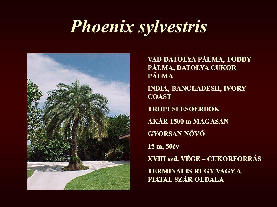 Phoenix sylvestris VAD DATOLYA PÁLMA, TODDY PÁLMA, DATOLYA CUKOR PÁLMA INDIA, BANGLADESH, IVORY COAST TRÓPUSI ESŐERDŐK AKÁR 1500 m MAGASAN GYORSAN NÖV