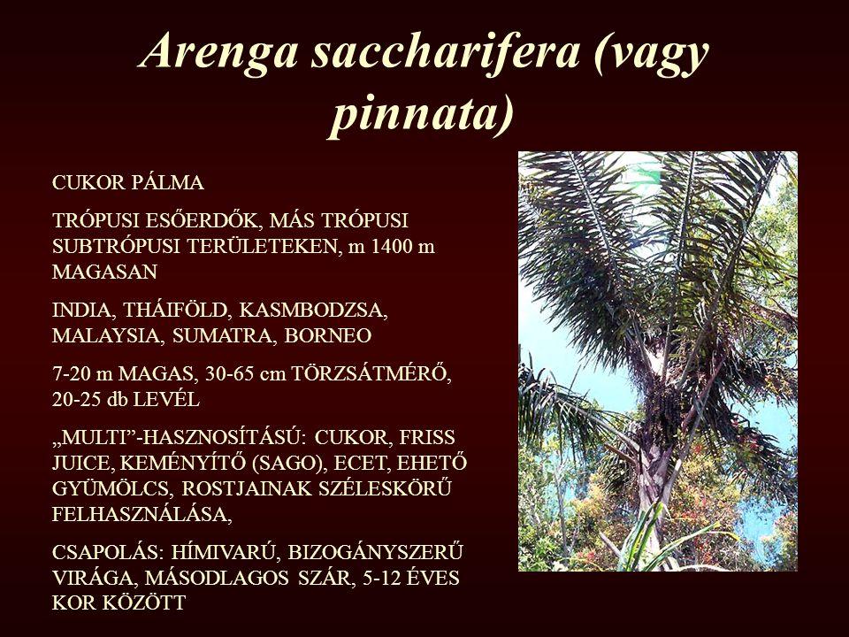 Arenga saccharifera (vagy pinnata) CUKOR PÁLMA TRÓPUSI ESŐERDŐK, MÁS TRÓPUSI SUBTRÓPUSI TERÜLETEKEN, m 1400 m MAGASAN INDIA, THÁIFÖLD, KASMBODZSA, MAL