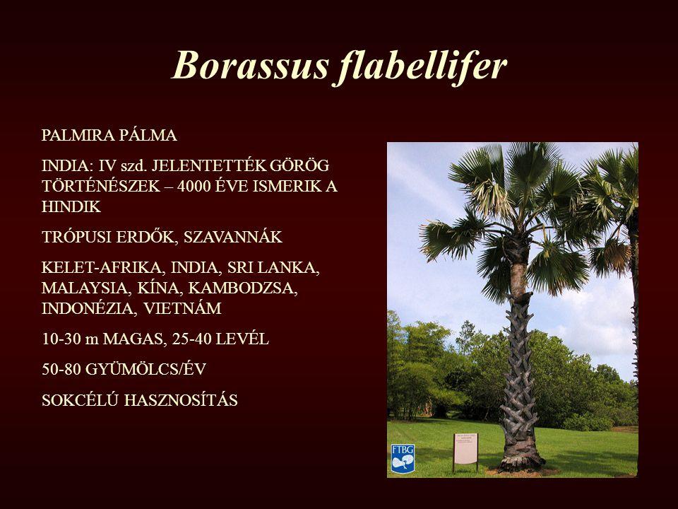 Borassus flabellifer PALMIRA PÁLMA INDIA: IV szd. JELENTETTÉK GÖRÖG TÖRTÉNÉSZEK – 4000 ÉVE ISMERIK A HINDIK TRÓPUSI ERDŐK, SZAVANNÁK KELET-AFRIKA, IND