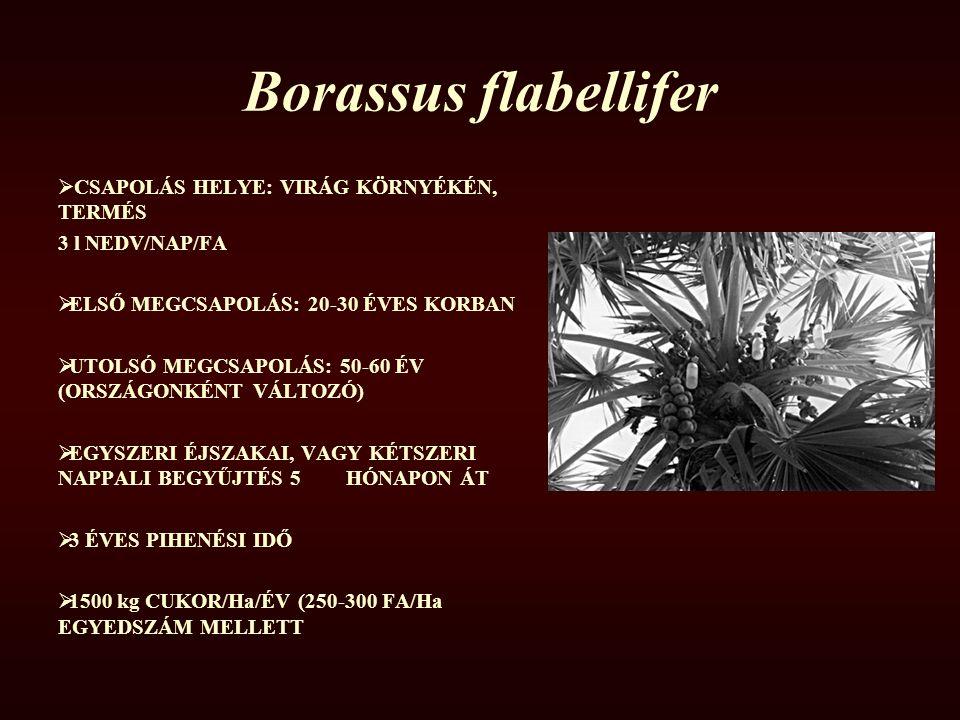 Borassus flabellifer  CSAPOLÁS HELYE: VIRÁG KÖRNYÉKÉN, TERMÉS 3 l NEDV/NAP/FA  ELSŐ MEGCSAPOLÁS: 20-30 ÉVES KORBAN  UTOLSÓ MEGCSAPOLÁS: 50-60 ÉV (O