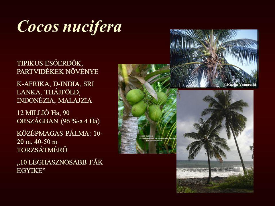 Cocos nucifera TIPIKUS ESŐERDŐK, PARTVIDÉKEK NÖVÉNYE K-AFRIKA, D-INDIA, SRI LANKA, THÁJFÖLD, INDONÉZIA, MALAJZIA 12 MILLIÓ Ha, 90 ORSZÁGBAN (96 %-a 4