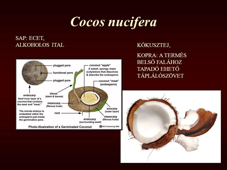 Cocos nucifera KÓKUSZTEJ, KOPRA: A TERMÉS BELSŐ FALÁHOZ TAPADÓ EHETŐ TÁPLÁLÓSZÖVET SAP: ECET, ALKOHOLOS ITAL