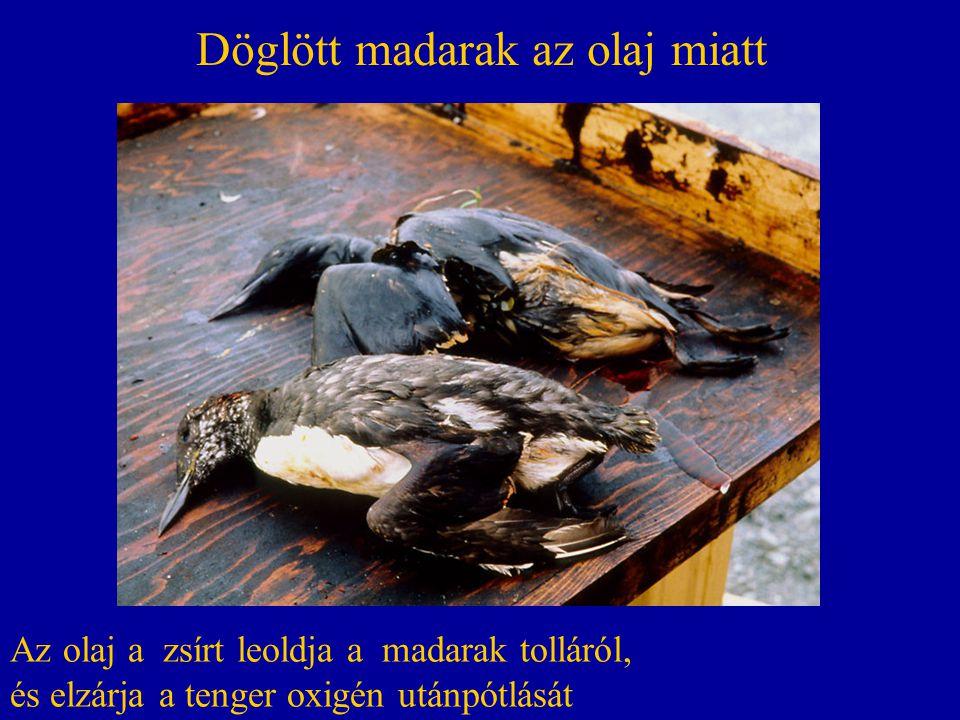 Döglött madarak az olaj miatt Az olaj a zsírt leoldja a madarak tolláról, és elzárja a tenger oxigén utánpótlását