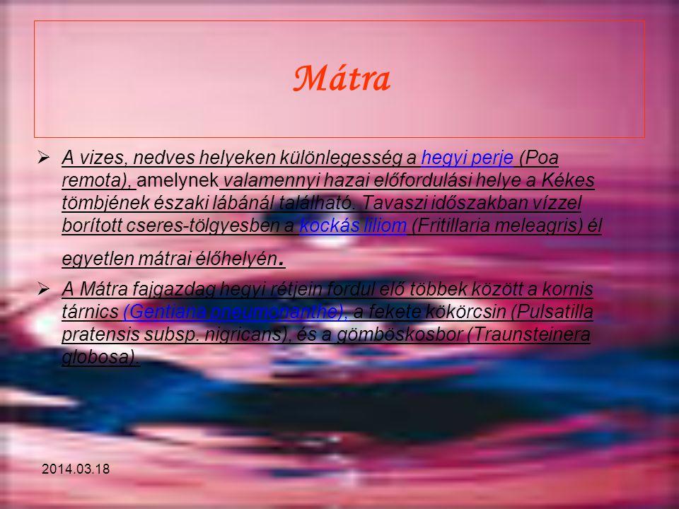 2014.03.18 Mátra  A vizes, nedves helyeken különlegesség a hegyi perje (Poa remota), amelynek valamennyi hazai előfordulási helye a Kékes tömbjének é