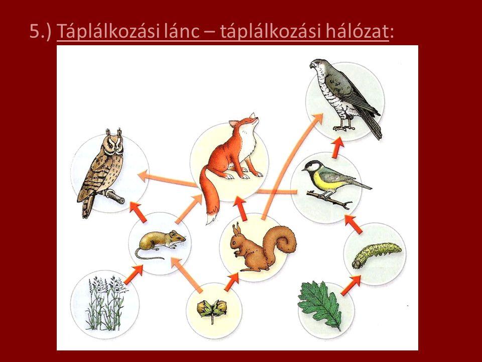 5.) Táplálkozási lánc – táplálkozási hálózat: